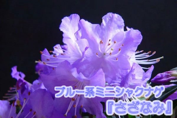ブルー系ミニシャクナゲ ブルーツツジ さざなみ 12.0cmポット 苗 青 苗木 予約販売品 低価格化