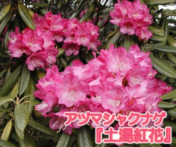 アズマシャクナゲ『土湯紅花』R2236 蕾なしです 接木7-8年目 大きさ40cm×幅40cm 商品画像は2019年12月撮影です