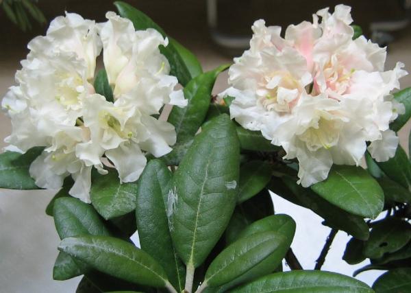 八重咲きシャクナゲ『女峰の宴』R2059 蕾1つ付きです 接木3年目 大きさ25cm×幅25cm 2019年10月26日撮影です