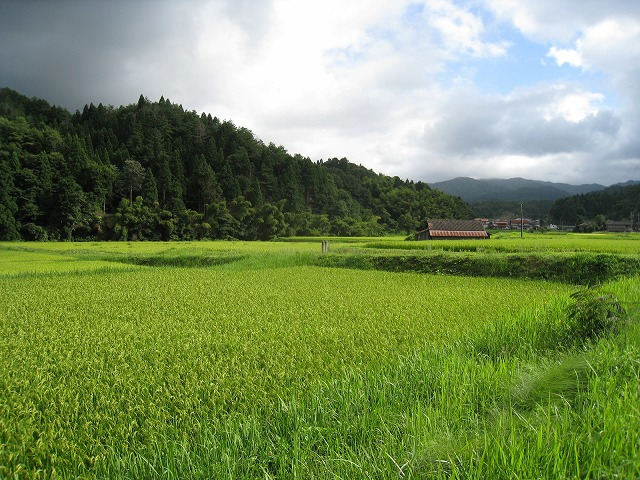 仁多米を育てている馬木の田んぼ