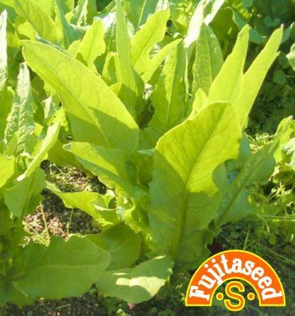 藤田種子 ファクトリーアウトレット 大葉油麦菜 ユーマイサイ 海外並行輸入正規品 野菜のタネ