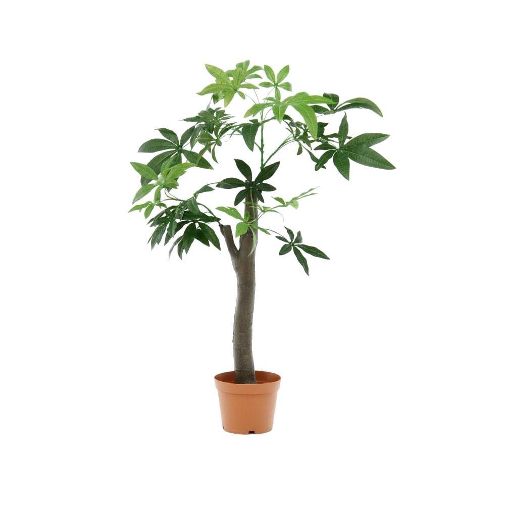観葉植物 パキラ 朴の木タイプ 52665【代引不可】【北海道・沖縄・離島配送不可】