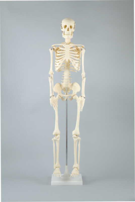 【送料無料】人体骨格模型 85cm