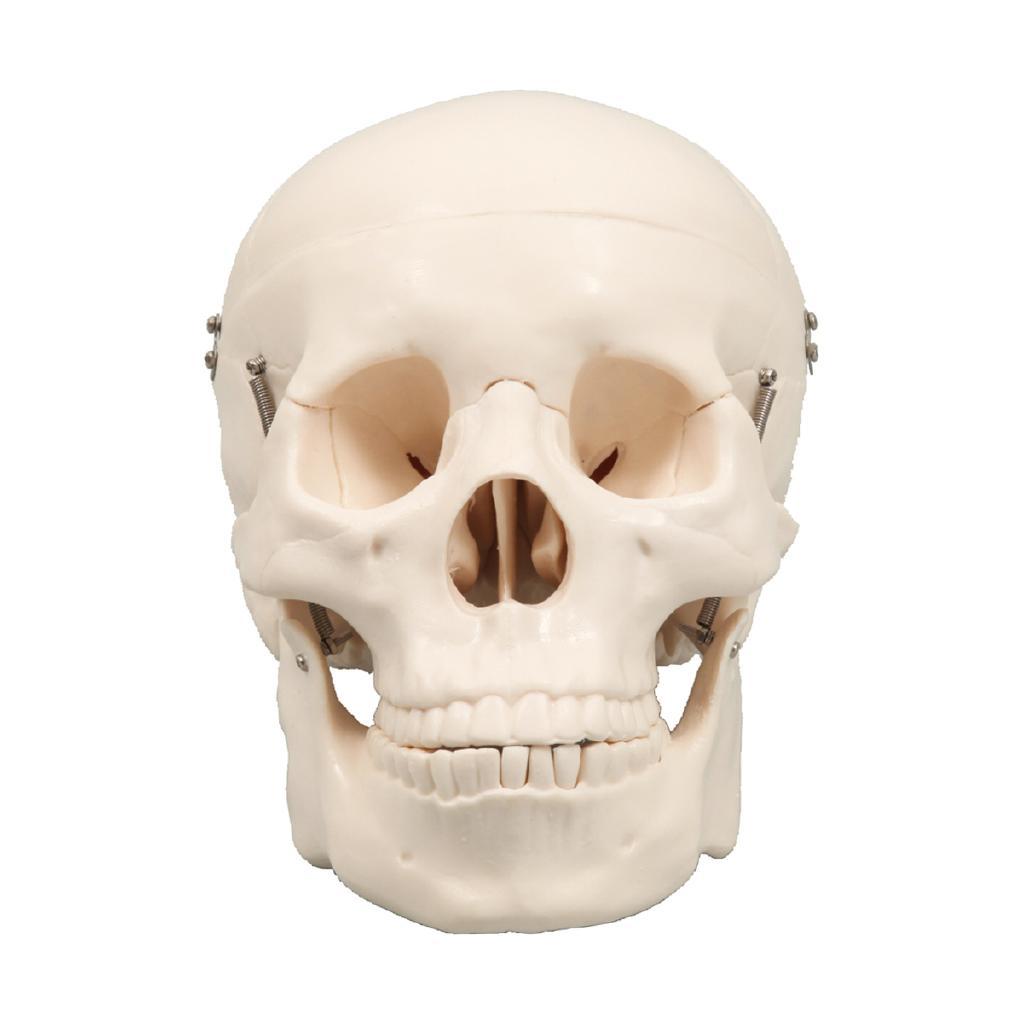 頭蓋骨模型[9700]【北海道・沖縄・離島配送不可】
