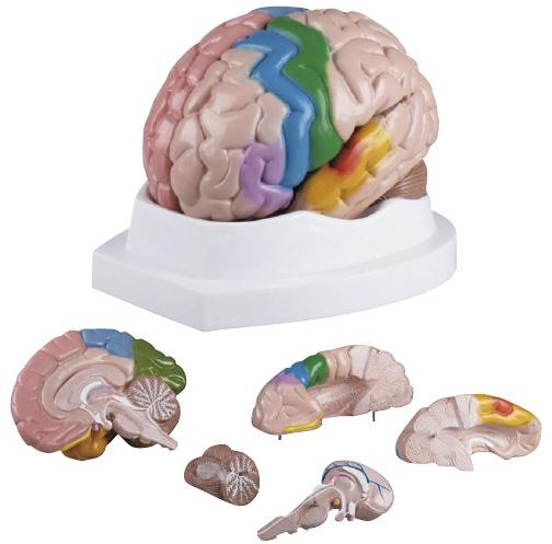 【送料無料】エルラージーマー社 脳5分解モデル C222【代引不可】