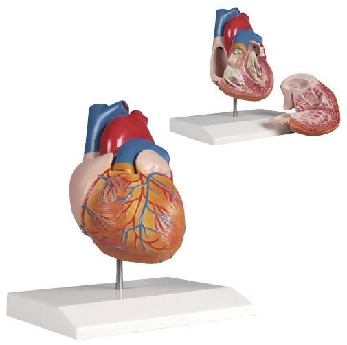 エルラージーマー社 心臓2分解モデル G210【代引不可】