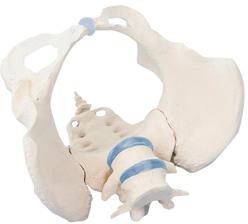 エルラージーマー社 骨盤モデル 規格:女性 4058【代引不可】