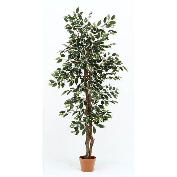 観葉植物 フィカス 690 B 【代引不可】【北海道・沖縄・離島配送不可】