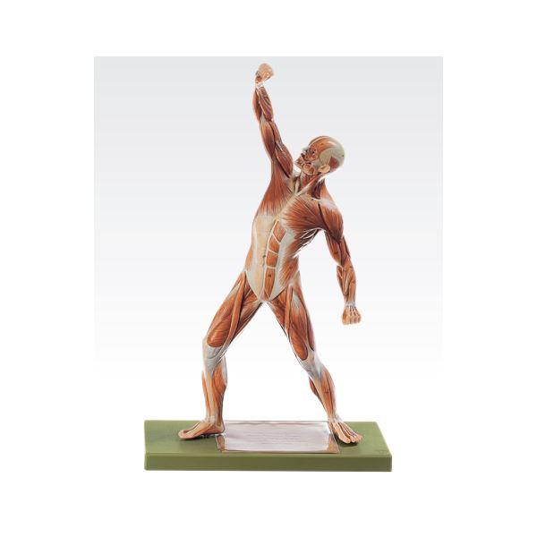 【送料無料】成人男性筋肉模型(人体解剖模型) 1体型モデル J-111-4【代引不可】