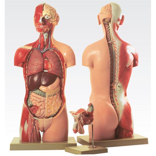 【送料無料】トルソ人体モデル/人体解剖模型 〔20分解〕 J-113-3【代引不可】