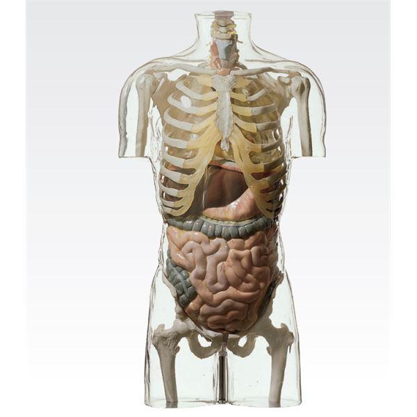 【送料無料】透明トルソ/人体解剖模型 〔消化器系人体モデル〕 等身大 1体型モデル J-113-4【代引不可】