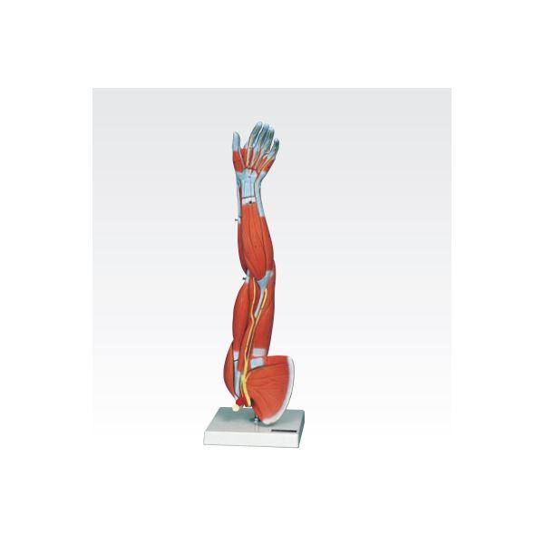 【送料無料】新型・上肢模型/人体解剖模型 〔6分解〕 J-114-6【代引不可】