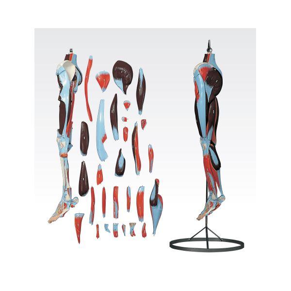 【送料無料】下肢模型/人体解剖模型 〔30分解〕 J-119-2【代引不可】