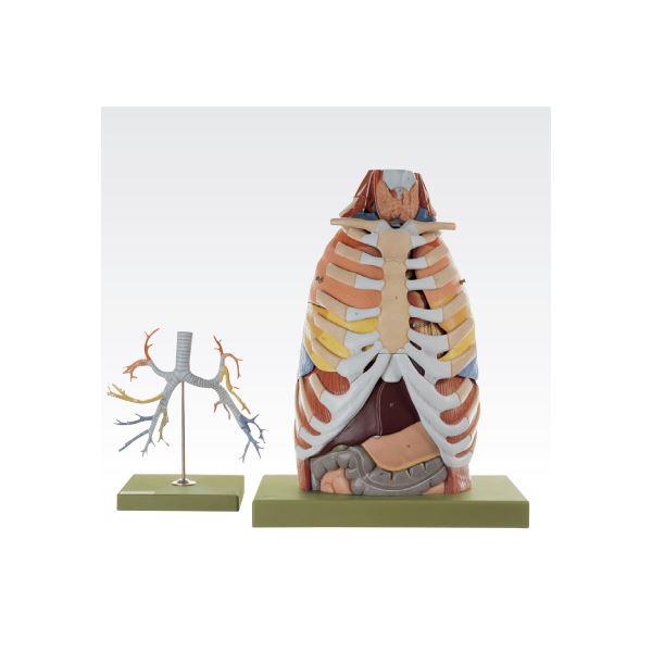 胸部解剖模型/人体解剖模型 〔17分解〕 等身大 J-125-0【代引不可】【北海道・沖縄・離島配送不可】