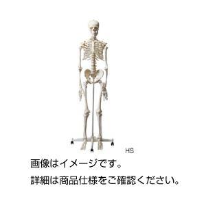 【送料無料】人体骨格模型 HS【代引不可】