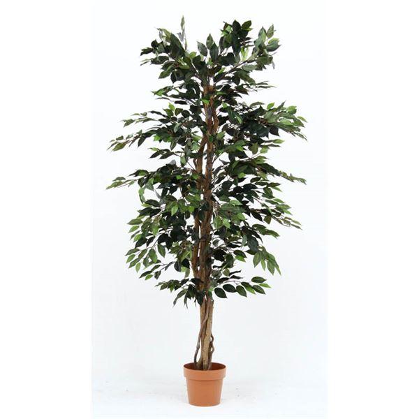 観葉植物 フィカス 1124 A 【代引不可】【北海道・沖縄・離島配送不可】