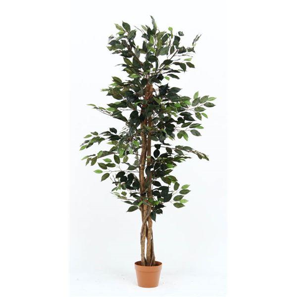 観葉植物 フィカス 690 A 【代引不可】【北海道・沖縄・離島配送不可】