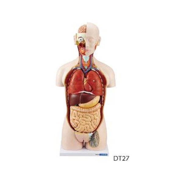 人体解剖模型(トルソー型) DT27【代引不可】【北海道・沖縄・離島配送不可】