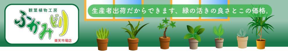 観葉植物工房 ふかみどり:観葉植物 大型の観葉植物 オフィス店舗に人気のインテリア観葉植物通販販売