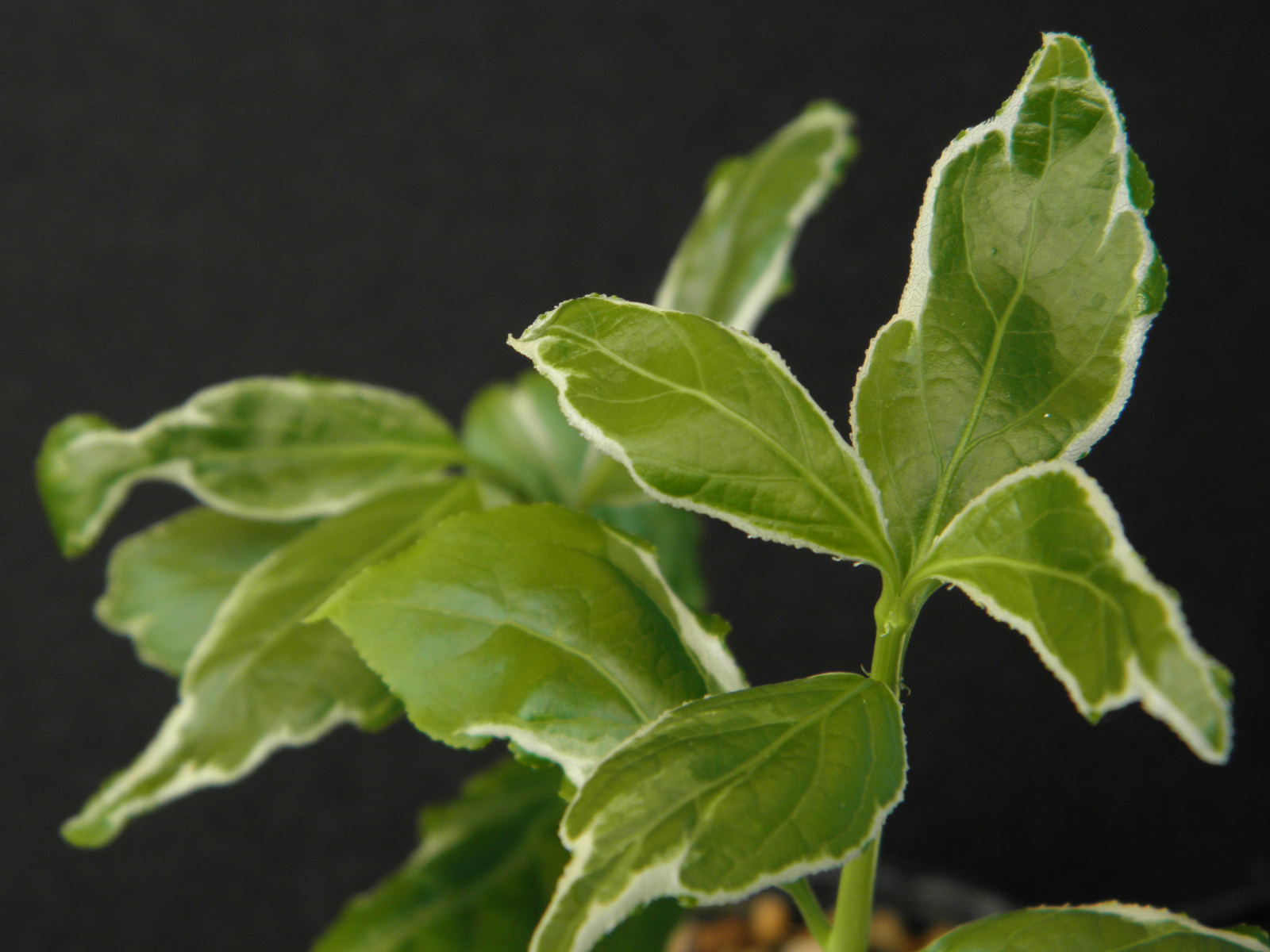 斑入 広葉ツリバナ 雪白三光覆輪接小上苗