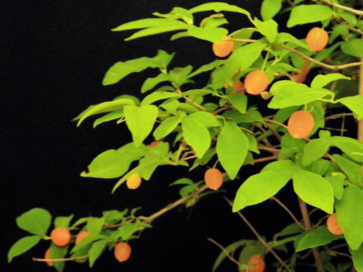 かわいい黄実は食べれます 珍品 花木 山野草 地植え 格安店 鉢植え ウグイスカグラ枝打小上苗20cm前後 黄実 青軸 白花 卸売り 茶花