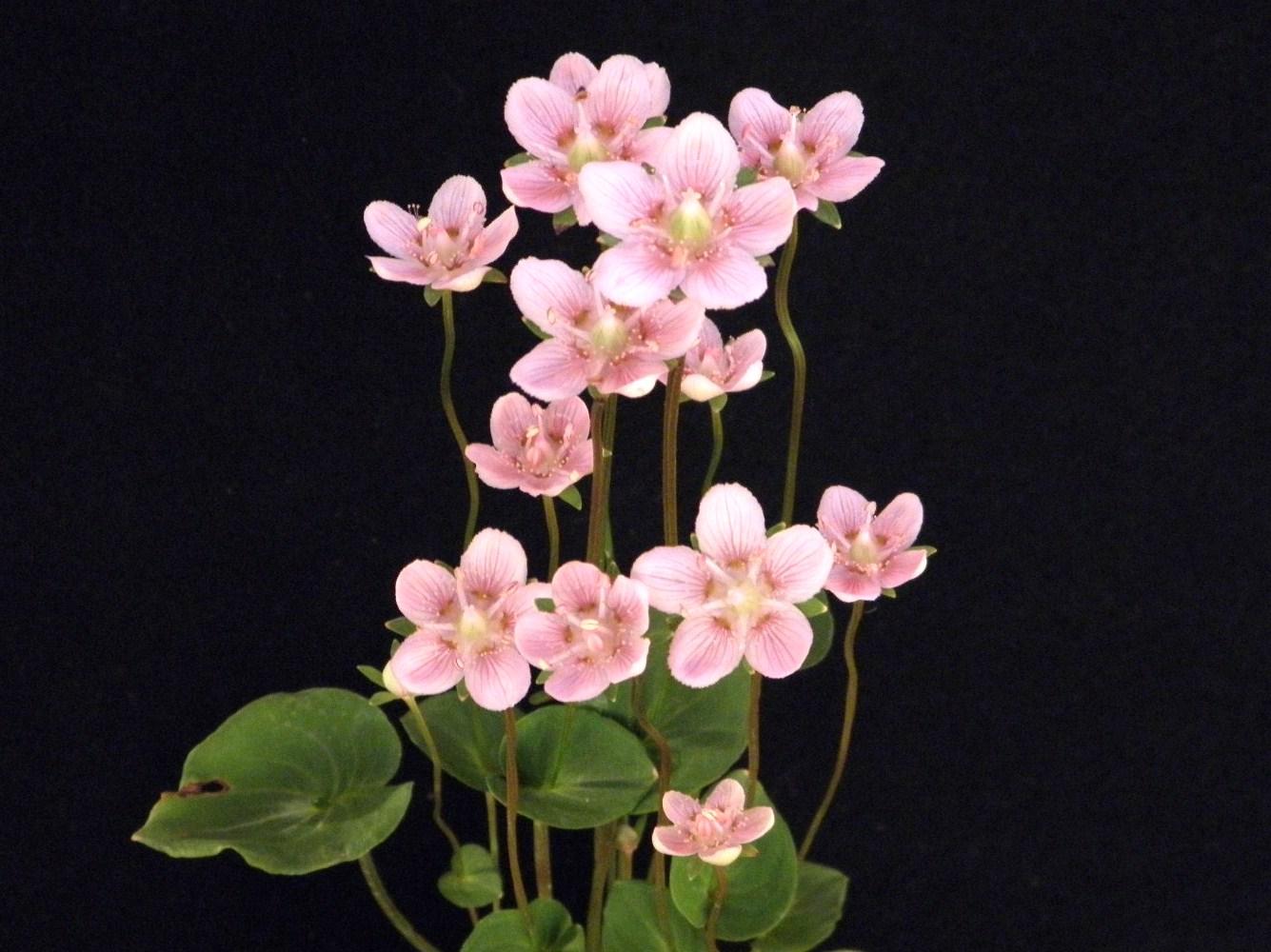 花もかわいい 人気種です 海外 新着セール ウメバチ草桃花開花中苗