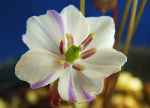 タッタ草[竜田絞り]白弁紫絞花 小上苗