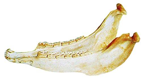 サウンドキング キハーダ SK-JB01 quijada 【ロバの下顎の骨でできた楽器です】