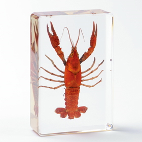 プラスチック封入標本「ザリガニ」