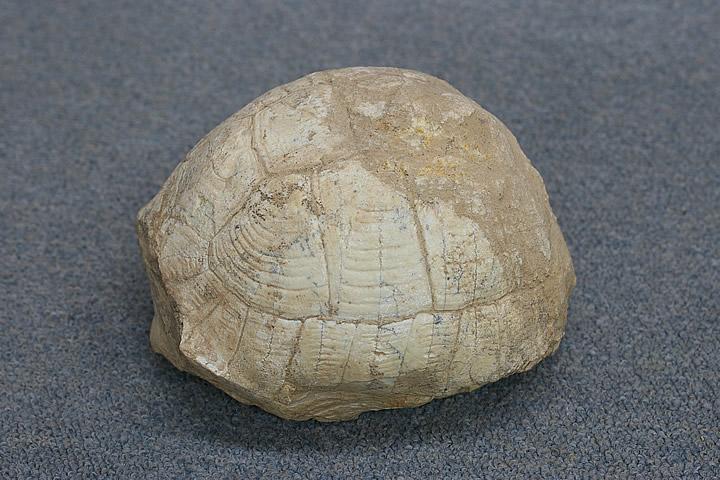 亀 化石 中国
