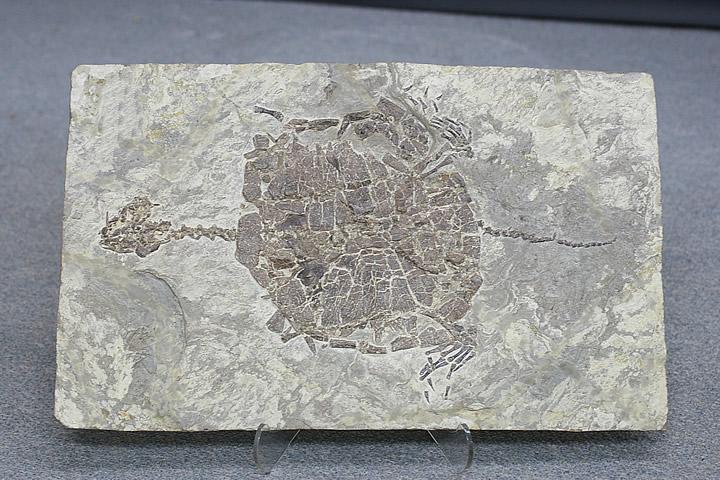 長頭亀 化石 中国