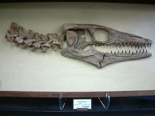 博物館クラス モササウルス化石
