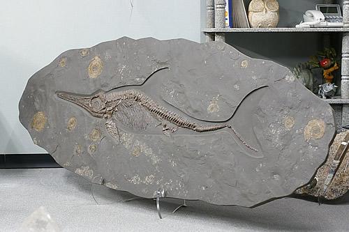 博物館クラス イクチオサウルス化石