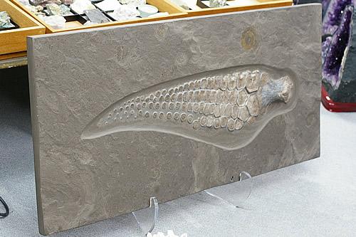 博物館クラス 化石 イクチオサウルス 前ビレ