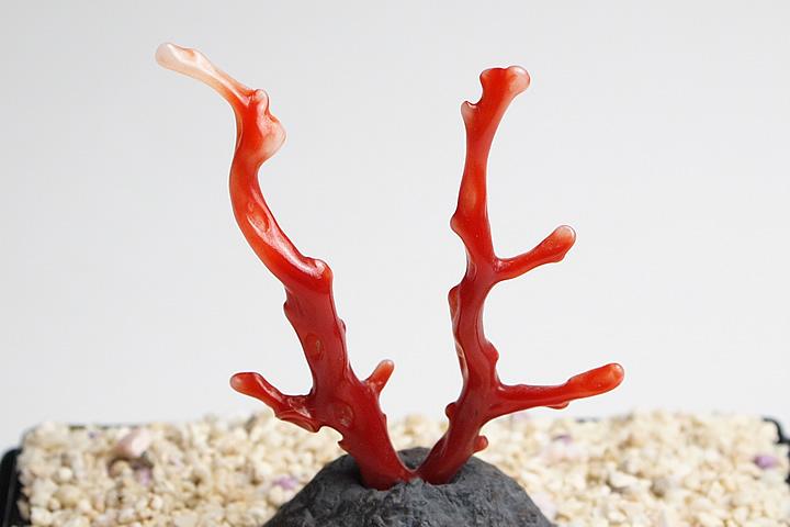 超貴重 血赤珊瑚原木 高知県沖産