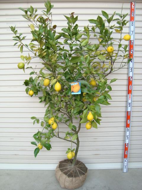 リスボン レモン