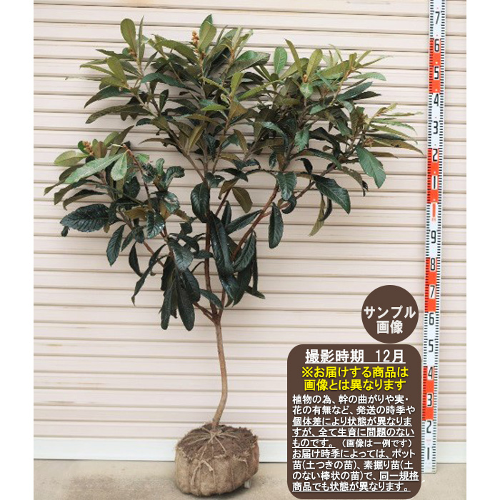 Young Loquat Tree Images
