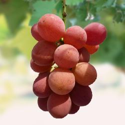 Freshman virus free grafted seedlings * 12 months early after shipment scheduled Aiken-grape fruit tree saplings, grape and grape.