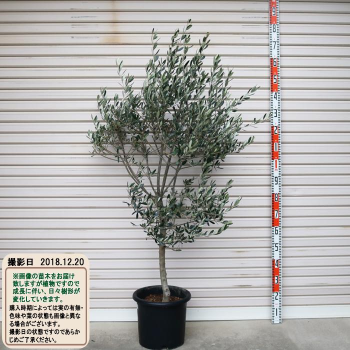 現品 フラントイオ 94 NEW売り切れる前に☆ 5年生苗 倉庫 庭木 10号鉢オリーブT 常緑樹 花木苗木