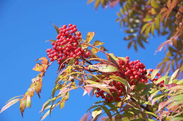 ナナカマド 樹高1.5m前後 露地苗 シンボルツリー 落葉樹