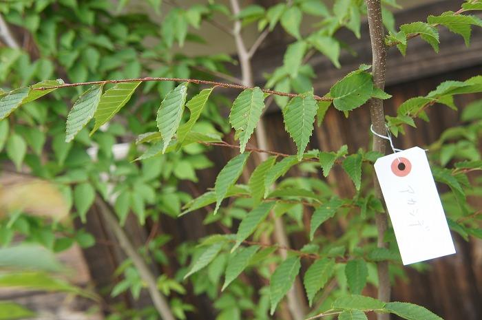 ガーデニング 植木 洋風 紅葉 アカシデ 赤四手 露地苗 メーカー直送 樹高2.0m前後 落葉樹 一部予約 株立 シンボルツリー