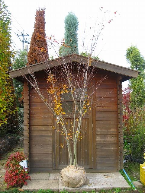 買物 アカシデ 赤四手 株立 樹高2.0m前後 シンボルツリー 露地苗 大好評です 落葉樹