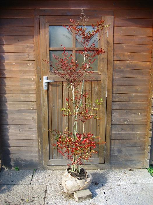 ガーデニング 植木 縁起 記念 新着セール 日かげに強い アカナンテン 常緑樹 人気ブランド 露地苗 赤南天 樹高0.8m前後 低木