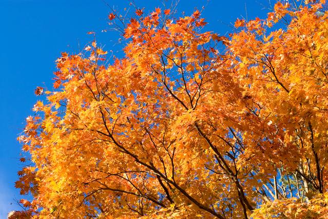 大型商品 カエデ 楓 別倉庫からの配送 イタヤカエデ 板屋楓 単木 露地苗 シンボルツリー ついに再販開始 樹高2.5m前後 落葉樹