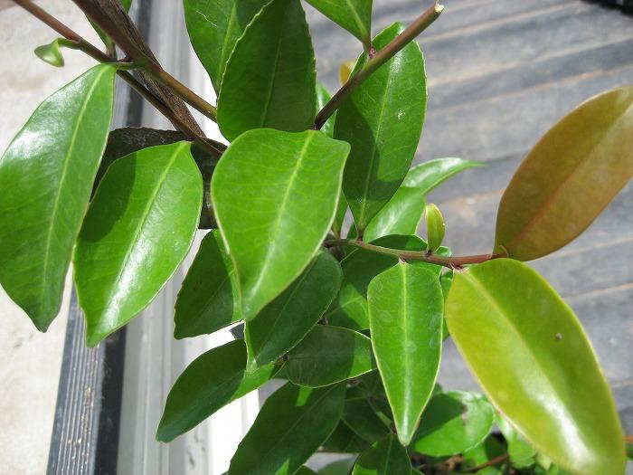 大型商品 スイカズラ 吸葛 当店一番人気 樹高2.5m前後 ついに再販開始 常緑樹 露地苗 シンボルツリー