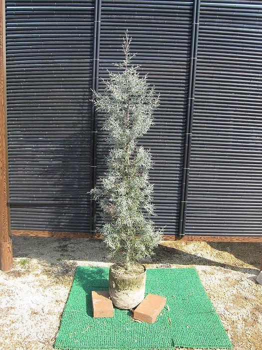 ブルーアイス 樹高1.0m前後 露地苗 シンボルツリー 常緑樹