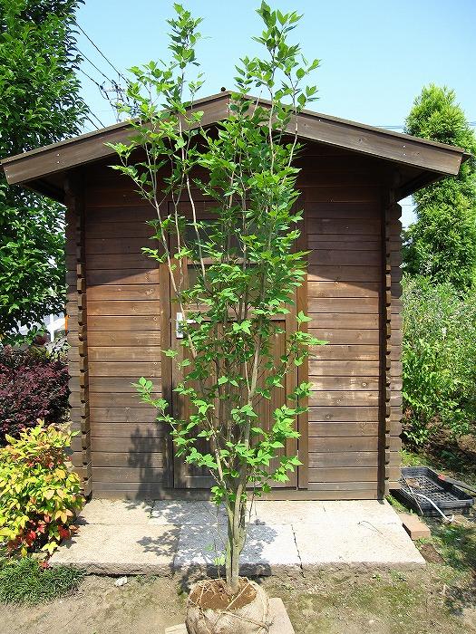 ガーデニング 植木 雑木 シロモジ(白文字) 株立 樹高1.5m前後 露地苗 低木 落葉樹