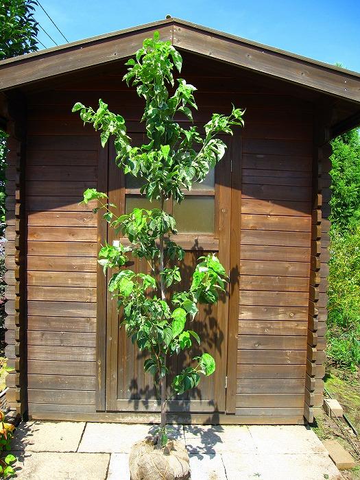 ガーデニング 植木 花木 洋風 紅葉 ハナミズキ(花水木) 樹高1.5m前後 露地苗 シンボルツリー 落葉樹