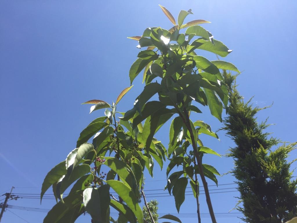 ナナミノキ 七実の木 メーカー直送 チープ 単木 樹高1.5m前後 シンボルツリー 常緑樹 露地苗