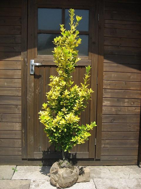 オウゴンマサキ 樹高1.2m前後 露地苗 低木 常緑樹